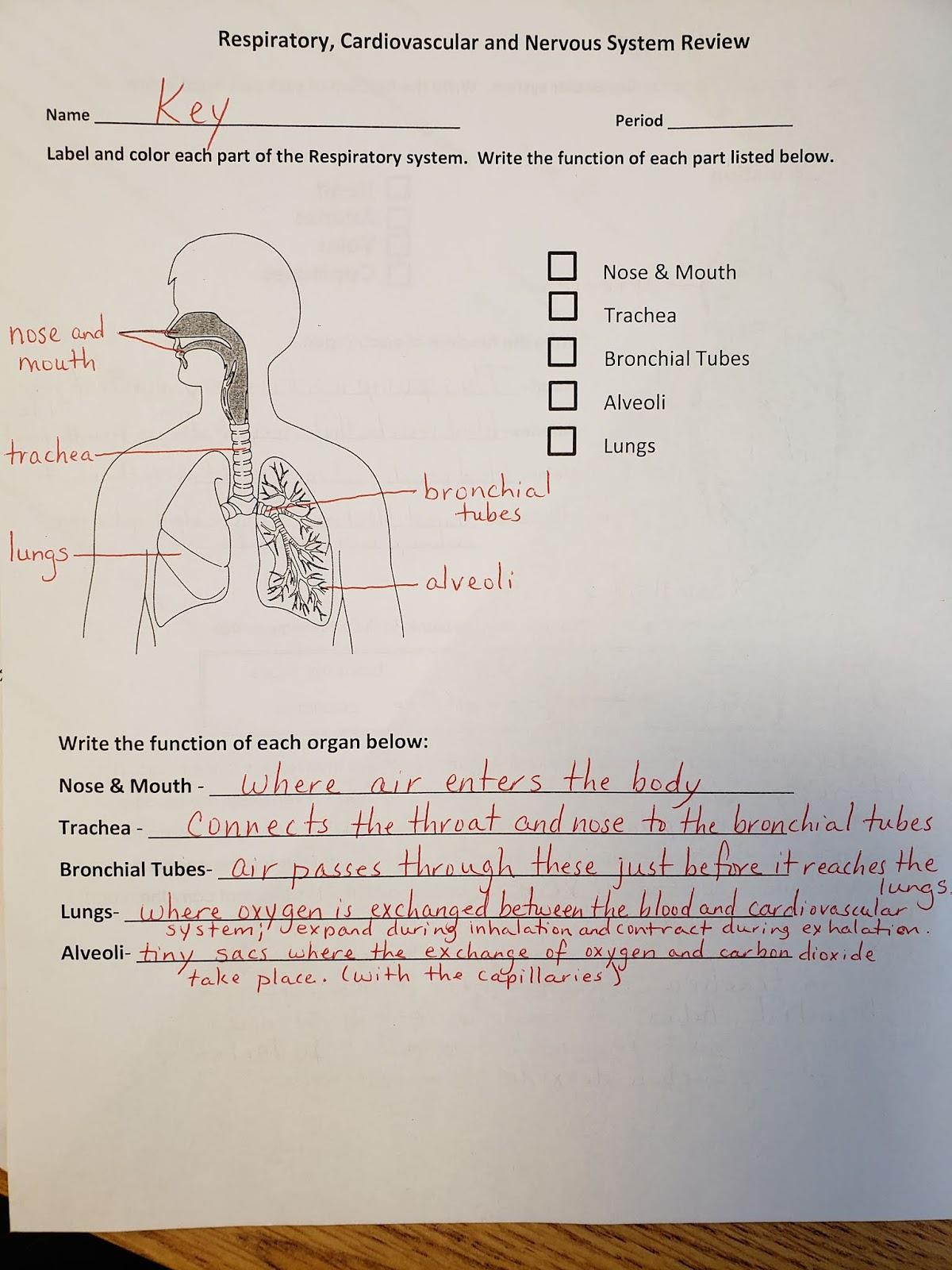 Respiratory System Worksheet Answer Key