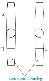 Pasangan-alel-kromosom