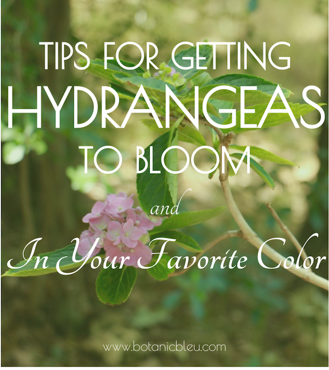 tips-to-get-hydrangeas-to-bloom-in-your-favorite-color