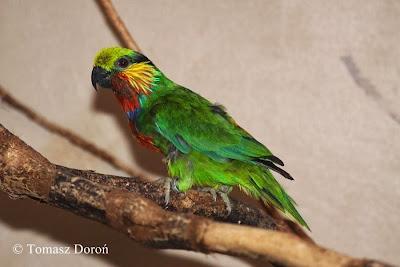 Lorito de Edwards: Psittaculirostris edwardsi