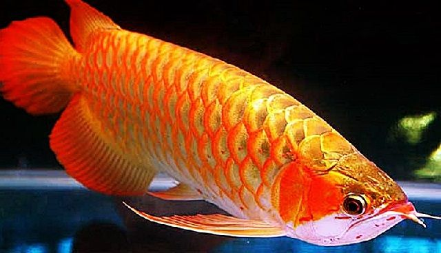 Jenis Ikan ARWANA GOLDEN RED