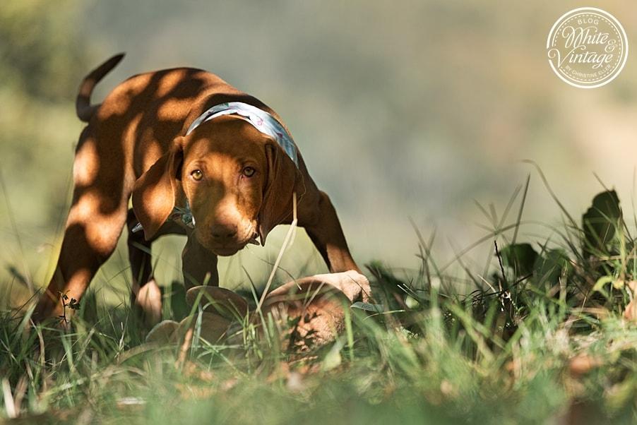 Magyar Vizsla Welpe - ein treuer Familienhund