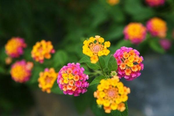 Cách chữa viêm mũi dị ứng hay viêm xoang bằng hoa ngũ sắc
