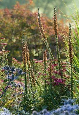 """Eryngium bourgatti """"Picus Blue"""", Digitalis parviflora, Achillea millefolium sammetriese en Pettifers Garden"""