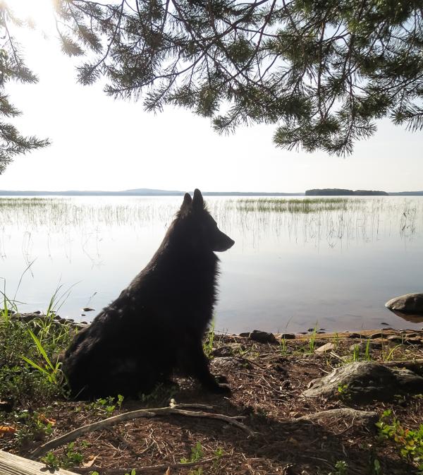 PauMau blogi nelkytplusbloggari nelkytplus nelkytplusblogit kynsijärvi koira ranalla belgianpaimenkoira groenendael di torre d'arese tyyni järvi aamu