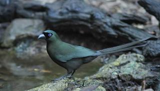 Harga Burung Murai Papua