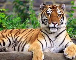 tiger harimau