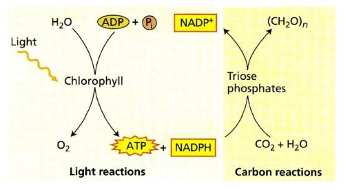 Reaksi umum fotosintesis
