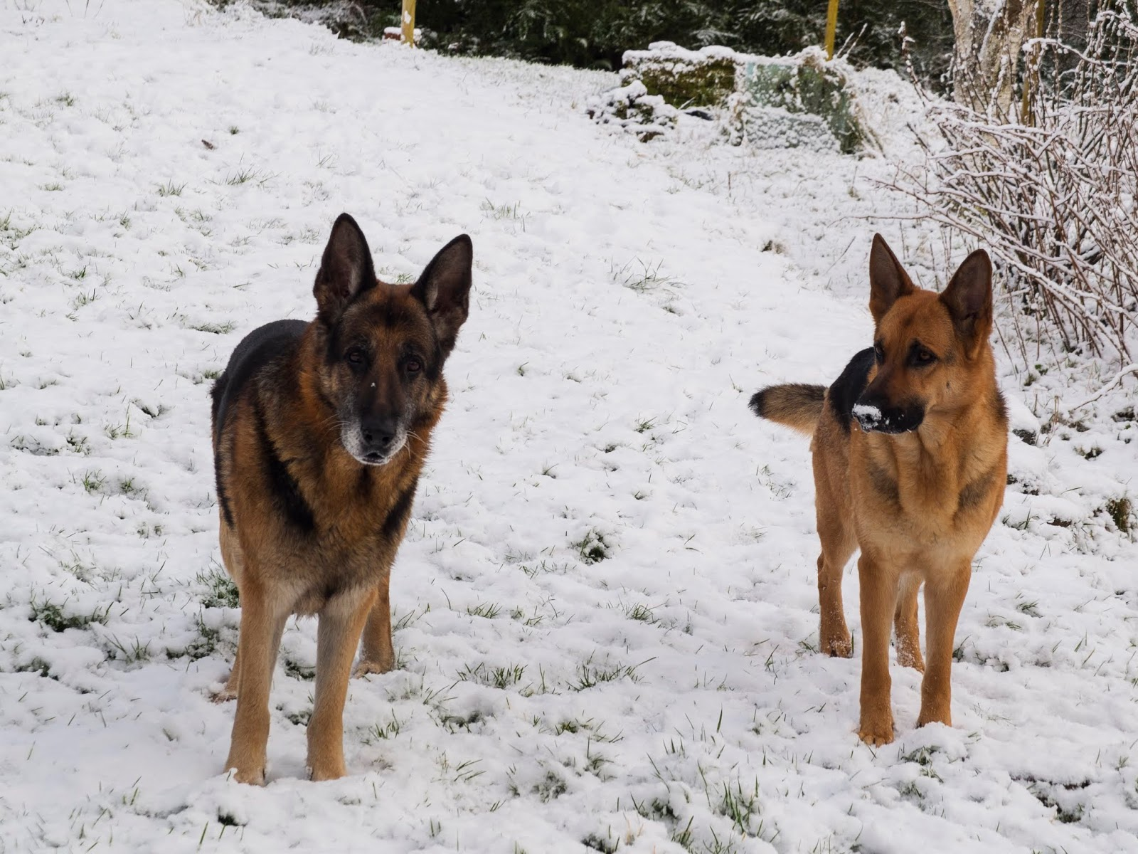 Two German Shepherds Steve and Nala standing on a snowy hillside.