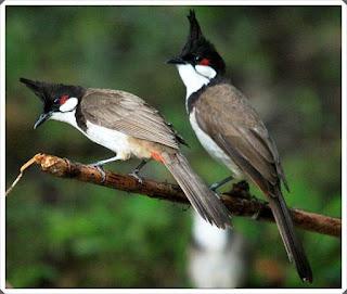membedakan jenis kelamin burung kutilang jantan dan betina