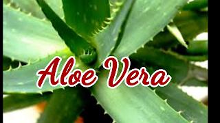 image of aloe vera