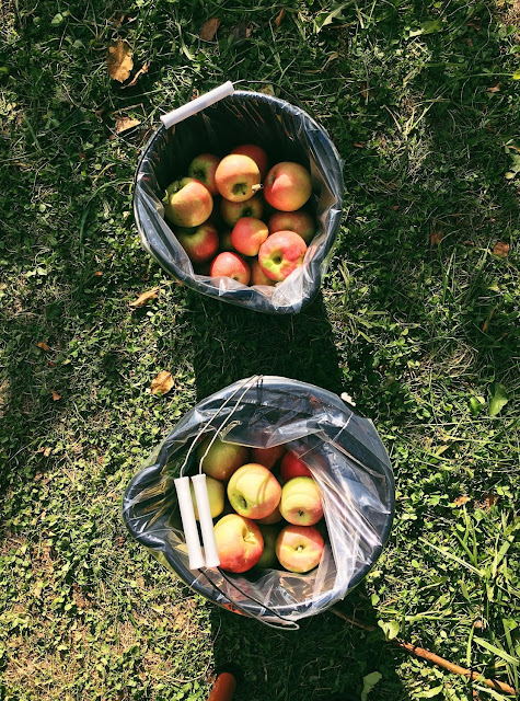 Apple-Picking at Mackintosh Fruit Farm