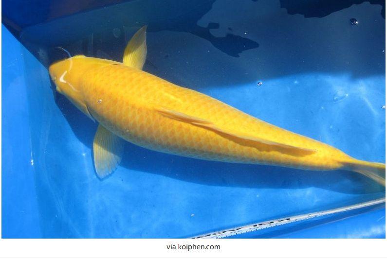 Jenis-Jenis Ikan Koi Kigoi