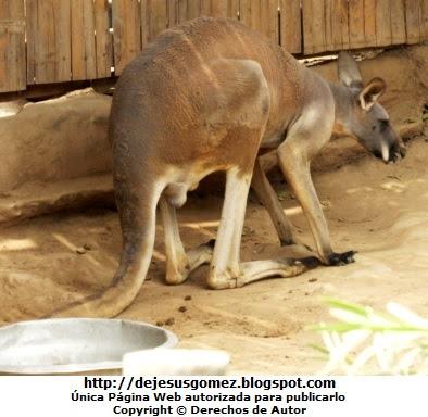 Foto del canguro rojo asustado en el Parque Zoológico de Huachipa. Foto del canguro tomada por Jesus Gómez