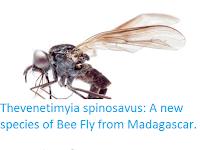 https://sciencythoughts.blogspot.com/2016/10/thevenetimyia-spinosavus-new-species-of.html