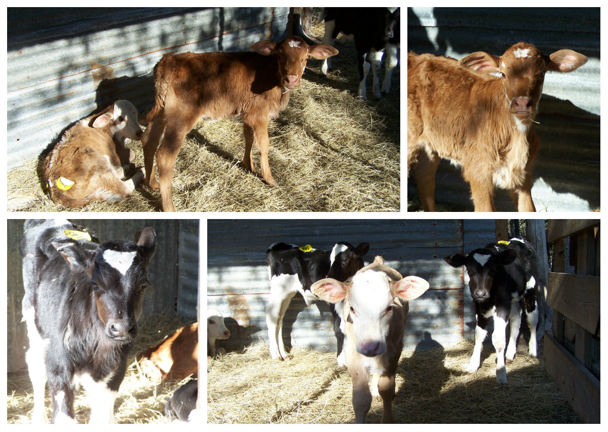 Two of the main concerns when bottle feeding calves milk replacer is 1) how  often 2) how much. These are the most important factors because every  aspect of ...