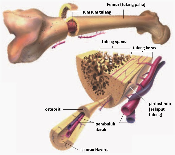 Pengertian Tulang dan jenis-jenis tulang