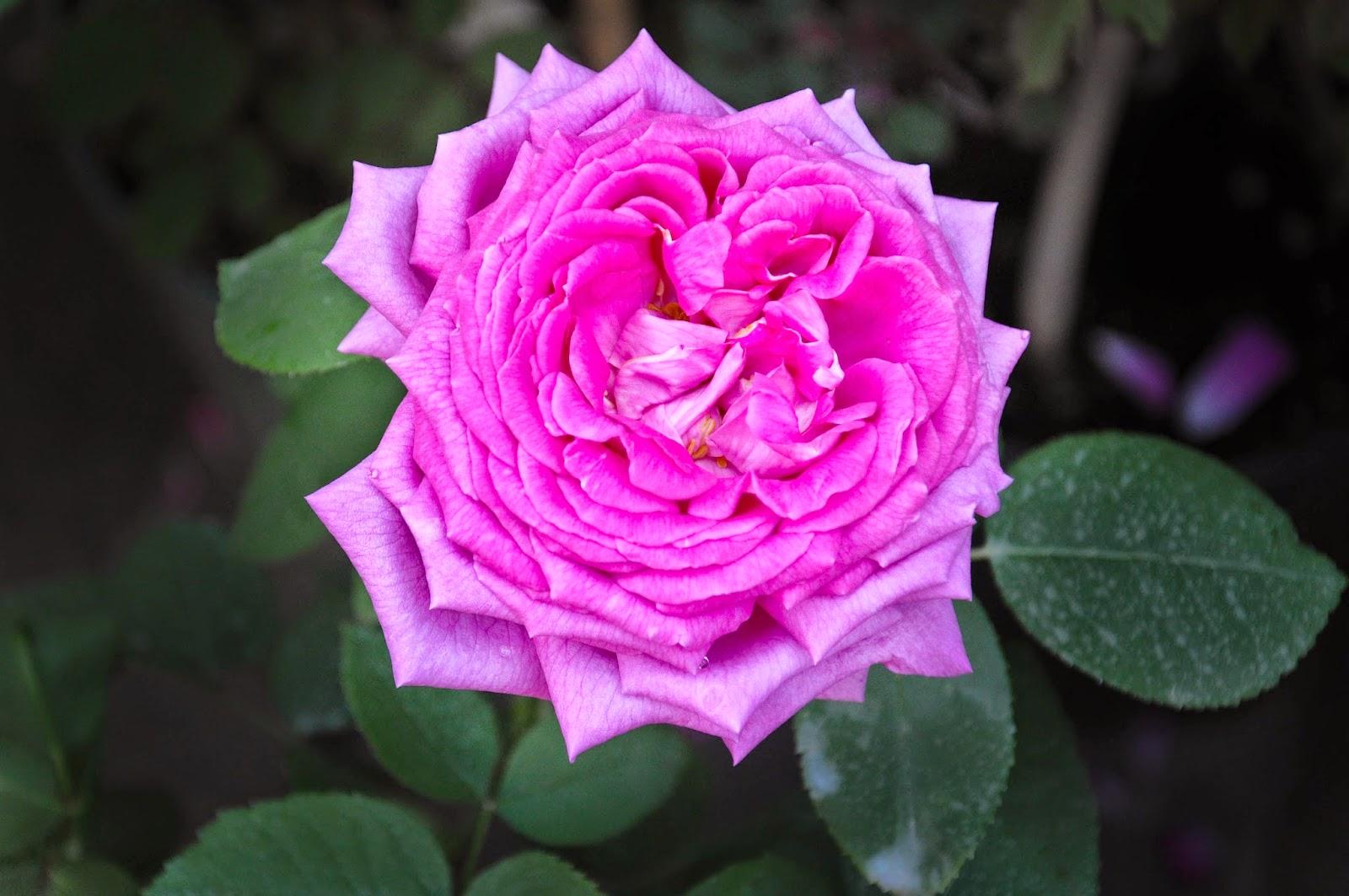 A rose, 7th Edition of 'Fiori, colori, e...' - Floriculture market show, Vicenza, Italy