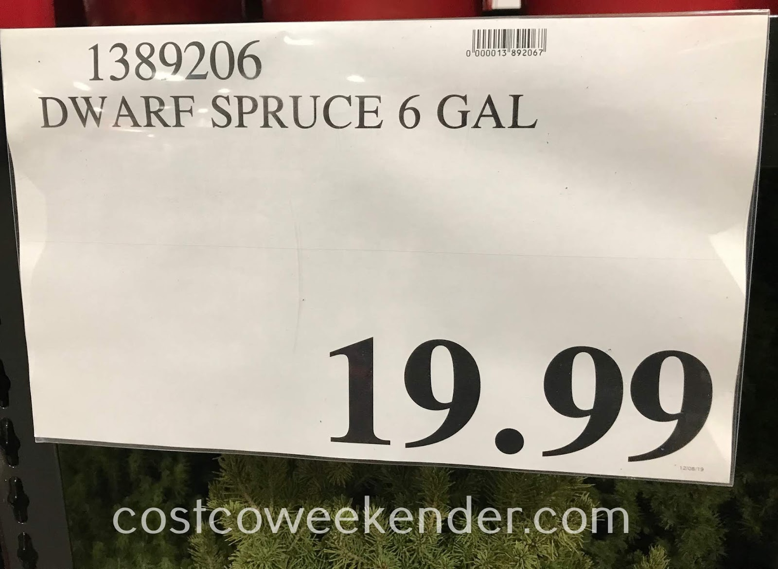Deal for a Dwarf Alberta Spruce Tree at Costco