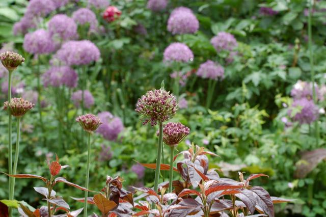 Allium atropureum en Lysimachia 'Fire cracker'