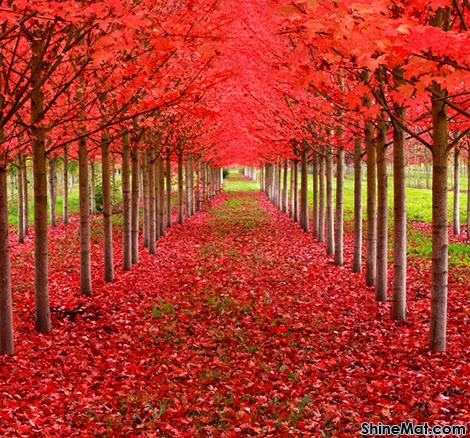 Maple Tunnel, St. Louis, Oregon, USA