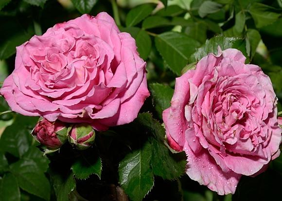 Agnes Schilliger роза
