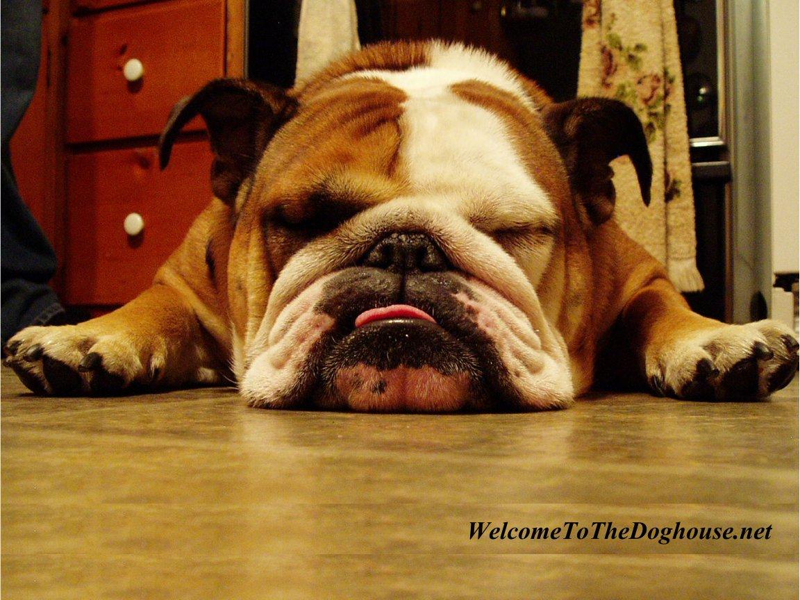 lazy bulldog puppies - photo #38