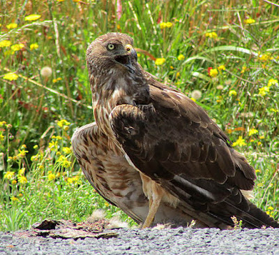 Swamp Harrier (Circus approximans)