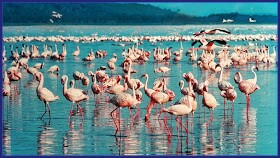 flamingo,water bird, population,