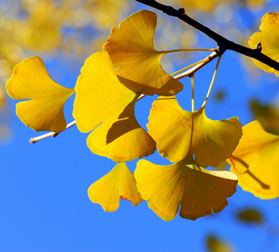 Ginkgos leaves
