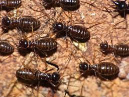 مكافحة النمل الابيض والقضاء عليه نهائيا