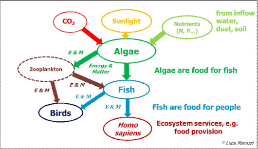 Researching Algae, the Unsung Heroes of Aquatic Food Webs