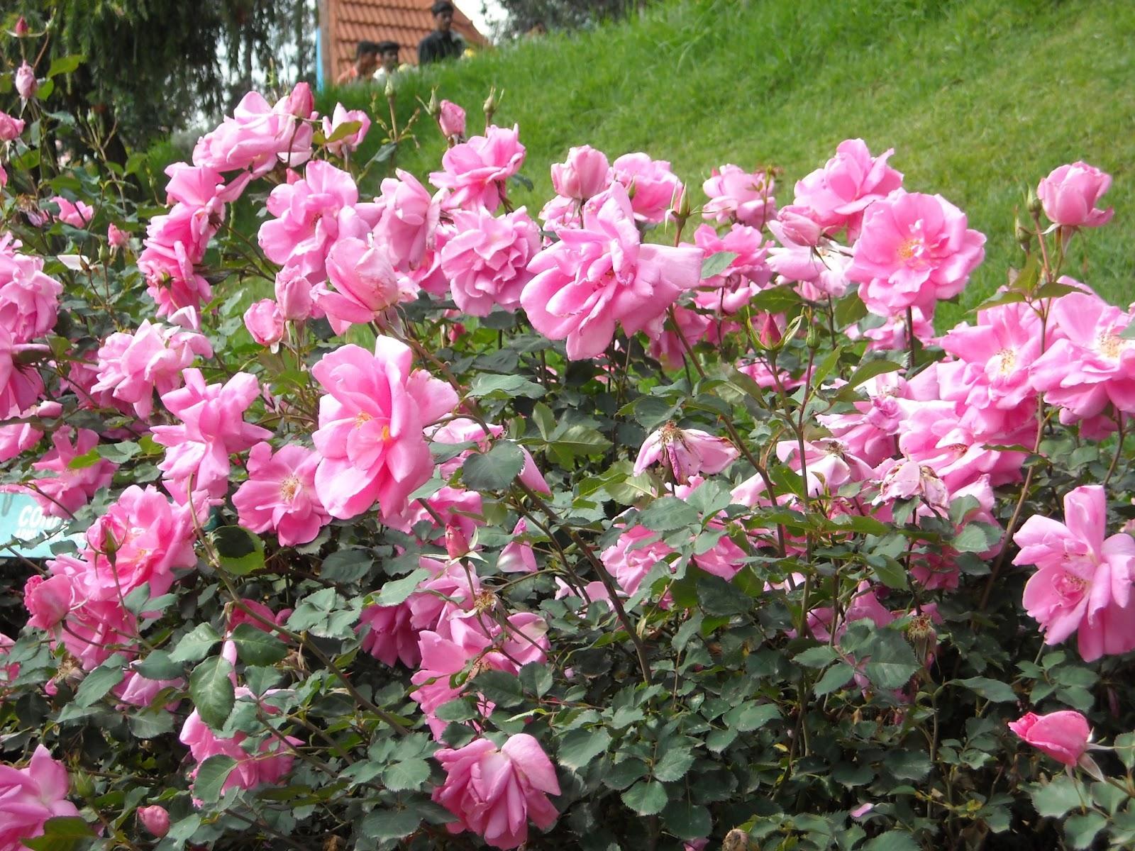 Roses In Garden: Vinodh Photography : OOTY Rose Garden