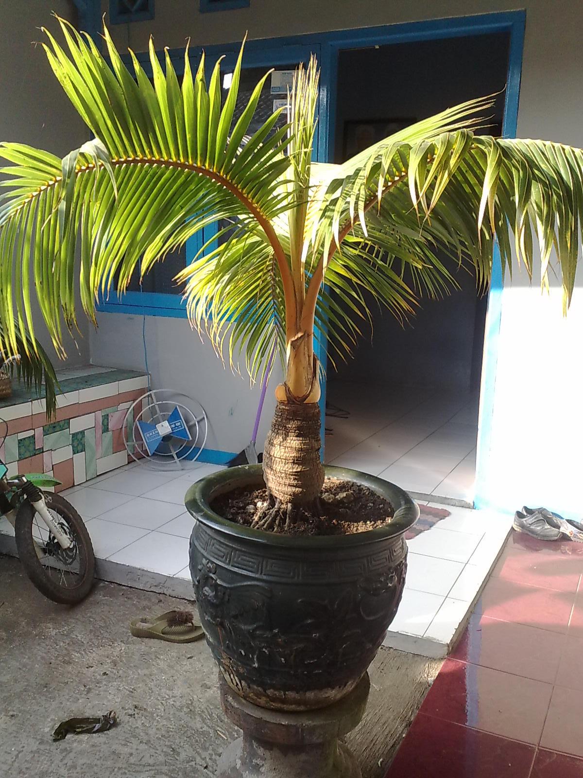 Bonsai Kelapa Media Pasir Blogger Bonsai