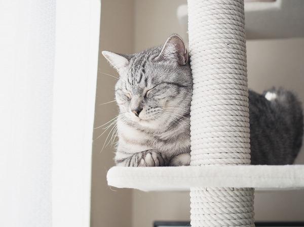 窓際のキャットタワーの上で香箱を組んで目を閉じているサバトラ猫