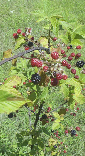 blackberry cobbler, fresh blackberries, harvesting blackberries, life on a farm, summer harvest