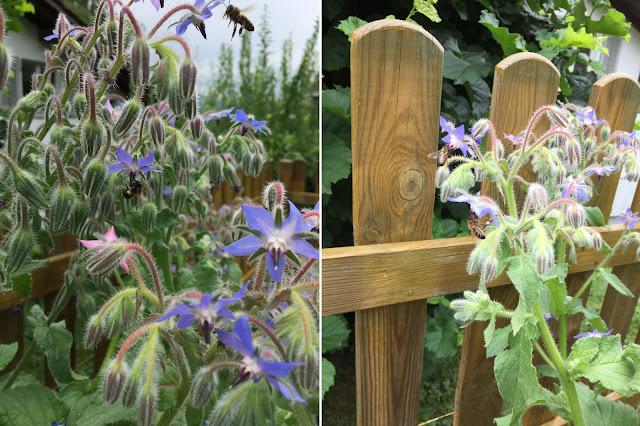 Gurkenkraut oder Borretsch Blüten und Bienen