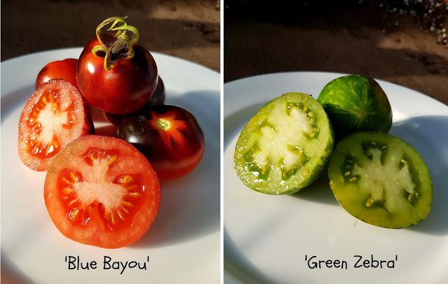 pomidory-kolorowe-ciekawe-odmiany-blog-ogrodniczy