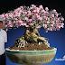 Adenium Hall of Fame : สวนนายพล จักรพรรดิ์ แห่งชวนชมไทยโซโค