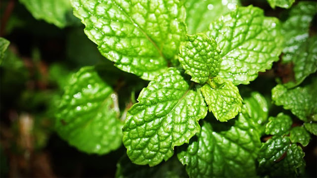 You-did-not-know-that-11-of-the-use-of-mint-leaves
