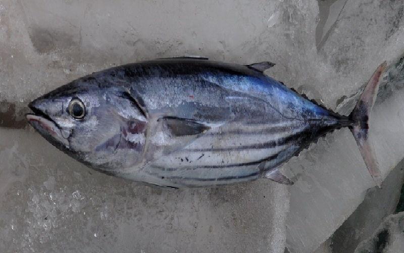 Gambar Ikan Laut Cakalang
