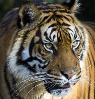 भारत का राष्ट्रिय पशु | Bharat Ka Rashtriya Pashu