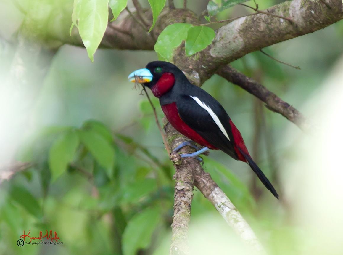 Malaysia Birds Paradise: Black-and