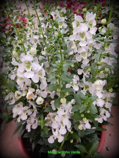 ANGELÔNIA - ( Angelonia angustifolia )