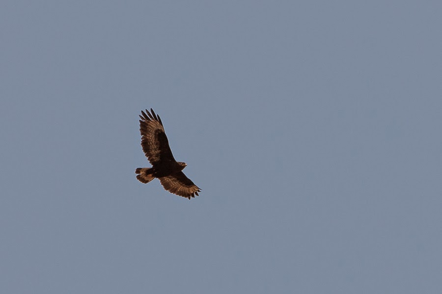 Long-legged Buzzard