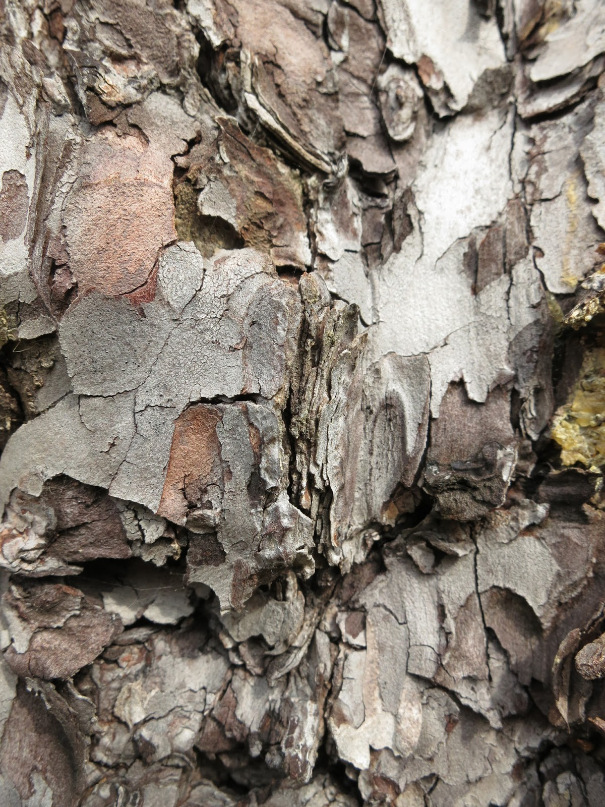 Multi-coloured shapes in bark of tree. (Pine?)