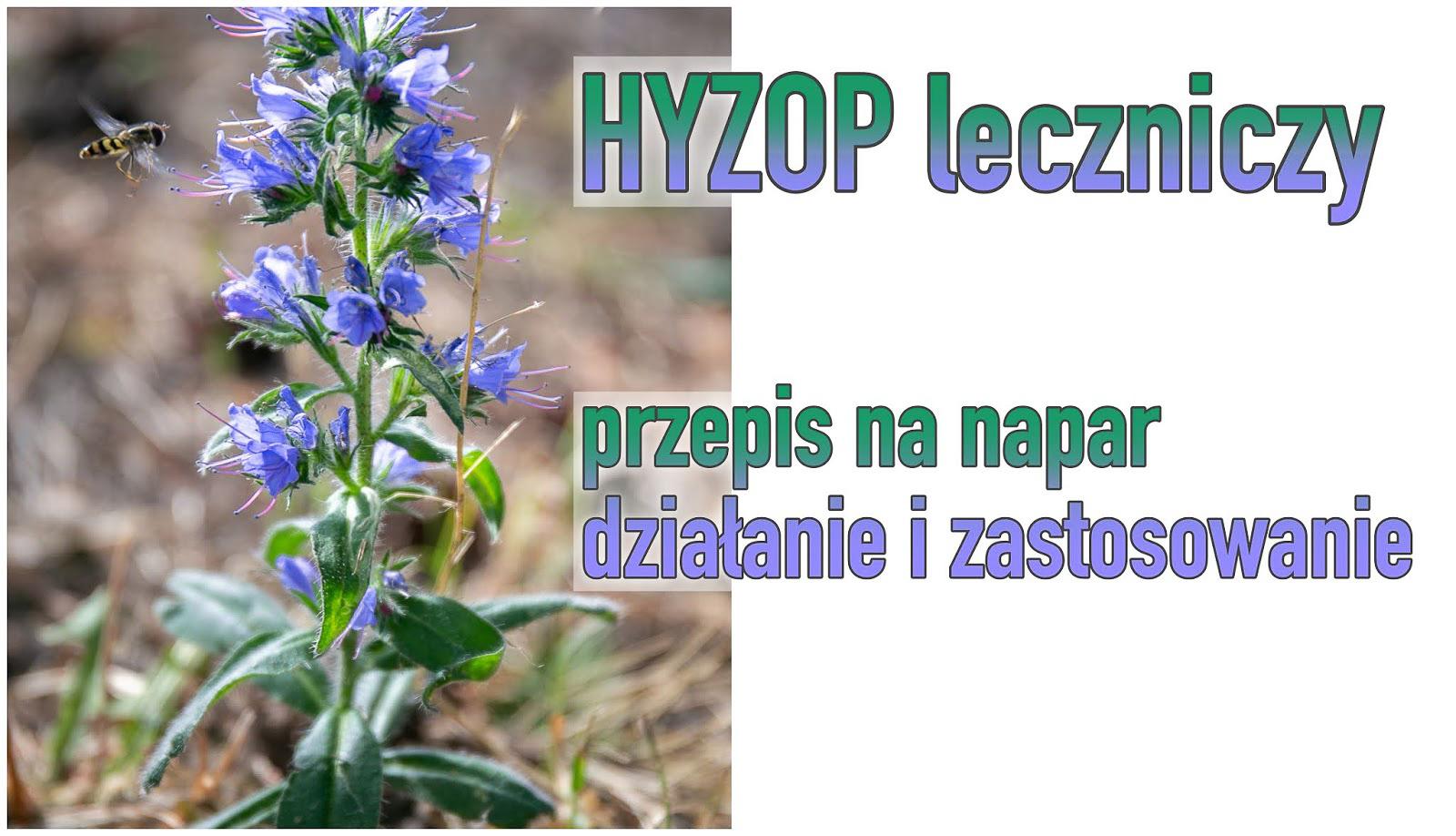 HYZOP - napar, działanie i zastosowanie