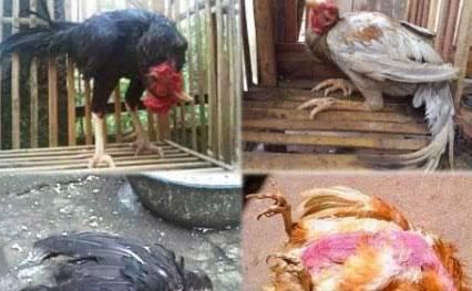 Penyakit ND Newcastle Disease yang menyerah ternak Ayam solusi obat pencegahan dengan Produk Nutrisi ternak NASA   www.agrotaninusantara.com