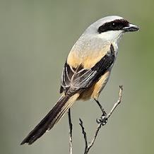 Mengatasi Burung Cendet Macet Bunyi Dengan Terapi Mandi Malam