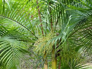 Dypsis baronii - Palmier canne à sucre